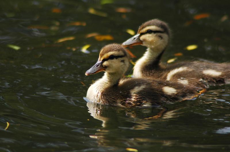 mallard ducklings baby ducks - Nature Stock Image by Professional Nature Photographer Christina Craft