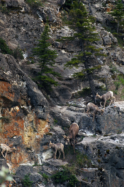 Bighorn sheep climbing rock climbers Rocky Mountain landscape mountains scenic landscape - Photograph by professional nature stock photographer Christina Craft