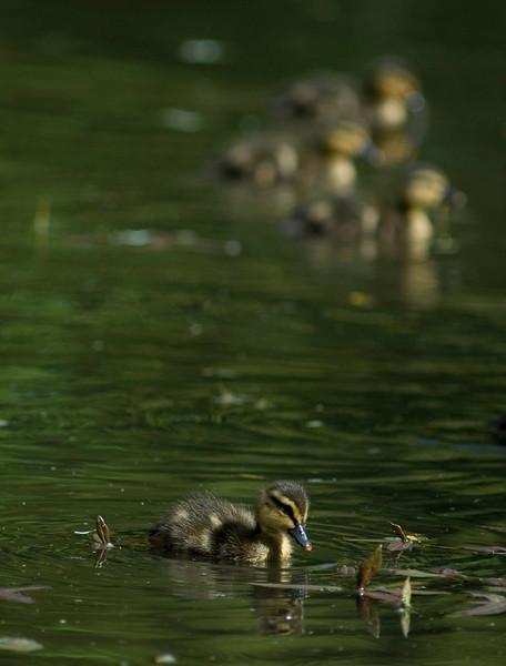Mallard duckling in a still green coloured scenic