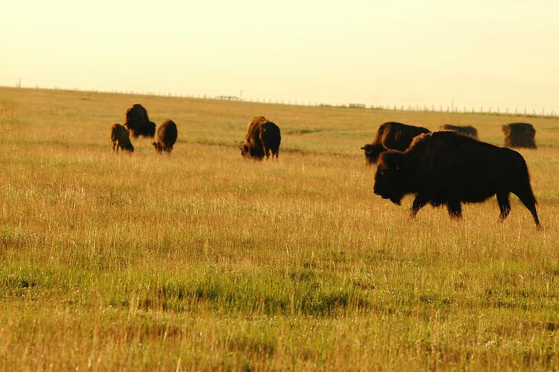 Bison herd - Stock Photo by Nature Photographer Christina Craft