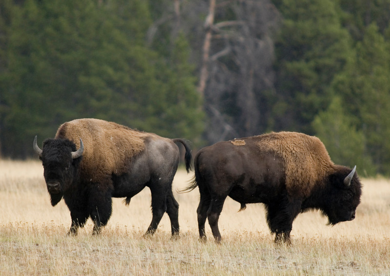 Two bison in a field