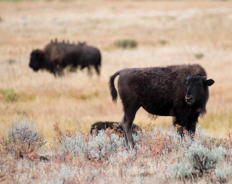 Bison - American Buffalo