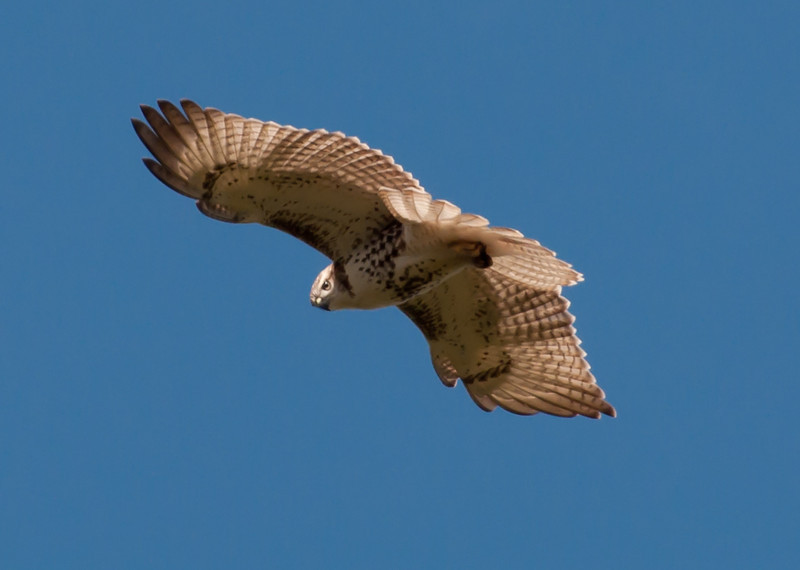 Hawk rlz