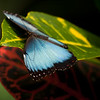 Blue Morpho Butterfly  (BC, Canada)