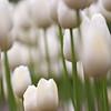 White Tulips (BC, Canada)