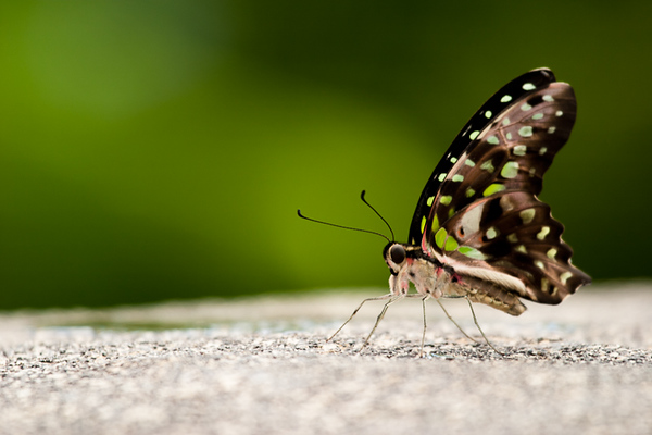 Tailed Jay Butterfly (BC, Canada)