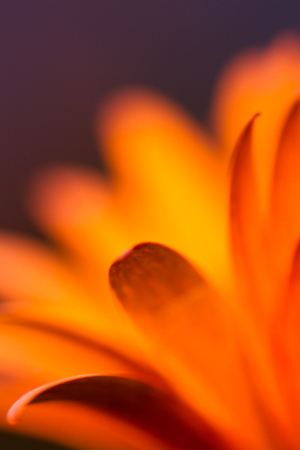 Orange Daisy (Montana)