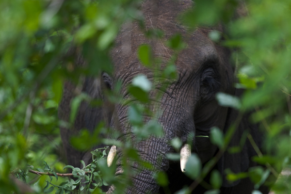 Elephant hiding in the bush (Kruger National Park, South Africa)