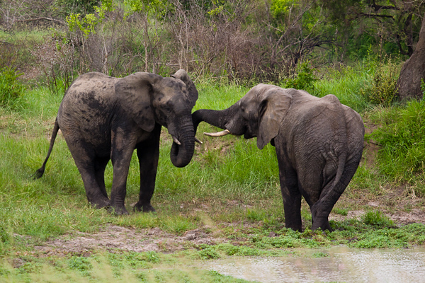 Elephant Play (Kruger National Park, South Africa)