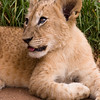 Rescued Lion Cub (South Africa)