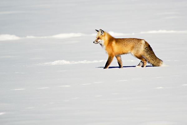 Red Fox, Yellowstone National Park (Wyoming)