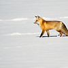 Red Fox, Yellowstone National Park (Wyoming)