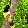 Plush Crested Jay (Iguazu Falls, Argentina)