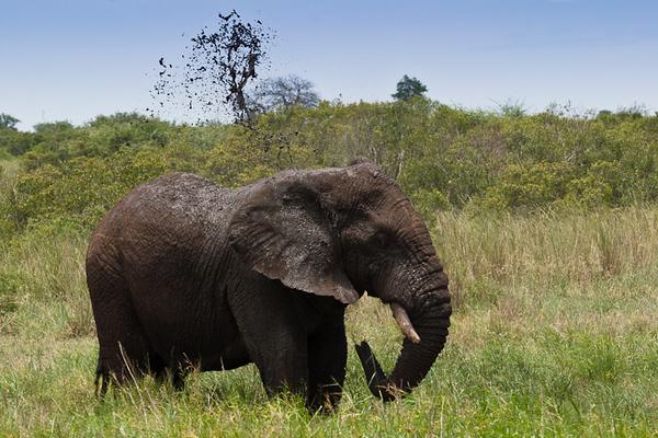 Elephant Mud Bath (Kruger National Park, South Africa)
