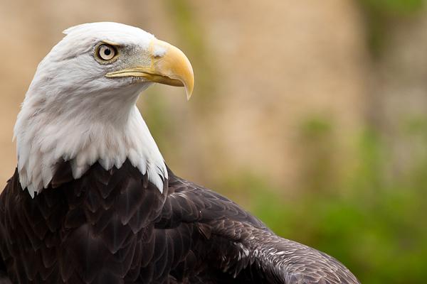 Bald Eagle (Minnesota)