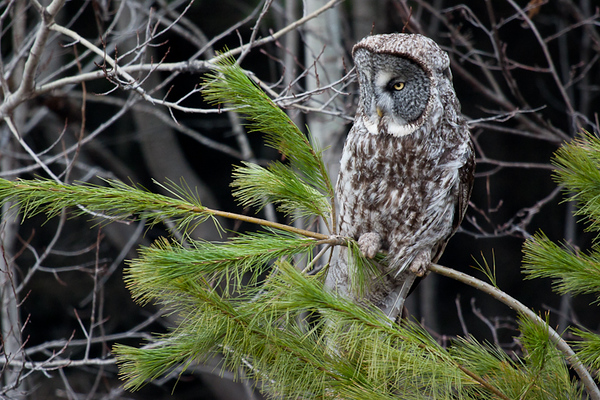 Great Gray Owl (Minnesota)