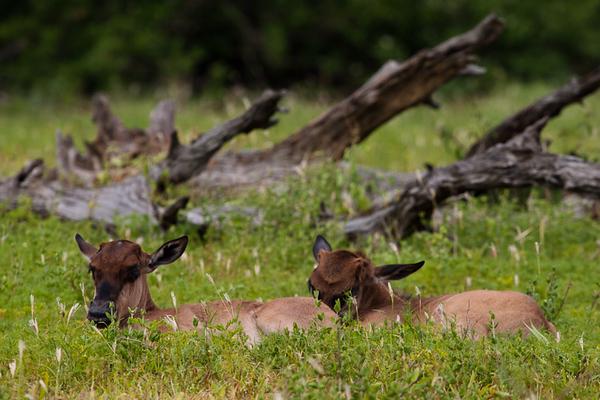 Baby Blue Wildebeest (Kruger National Park, South Africa)