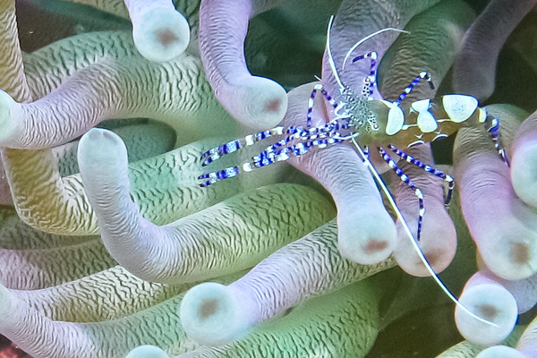 Cleaner Shrimp in an Anemore