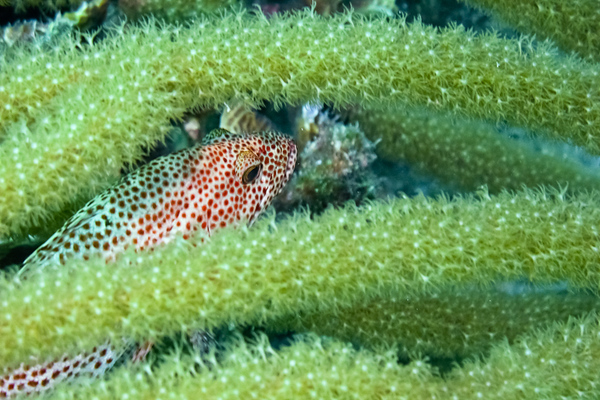 Red Hind Fish hiding in a Gorgonian