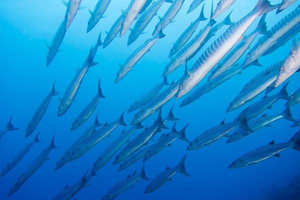 Great Barracuda in French Polynesia Islands