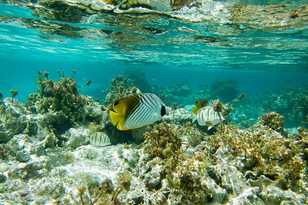 Threadfin butterflyfish (French Polynesia Islands)