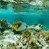 Threadfin butterflyfish (French Polynesia Islands)