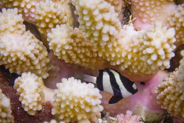 Humbug Dascyllus  (Damselfish) in a coral head
