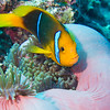 Anemonefish in an Anemone