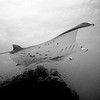 Manta Ray (French Polynesia Islands)