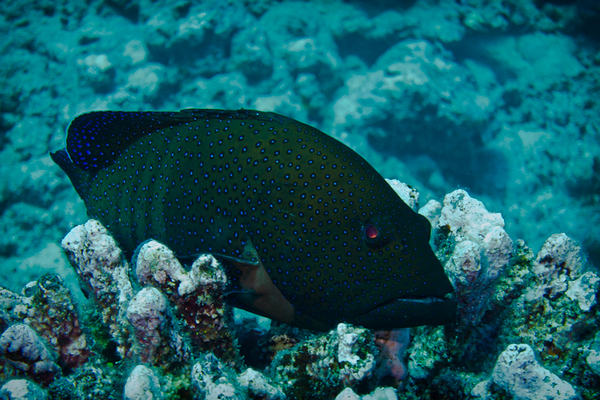 Grouper (French Polynesia Islands)