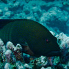 Grouper (French Polynesia Islands)