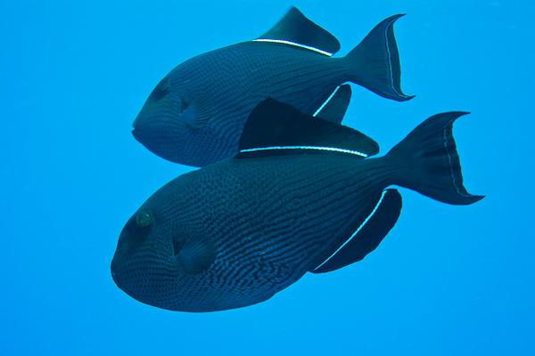 Black Durgon (French Polynesia Islands)