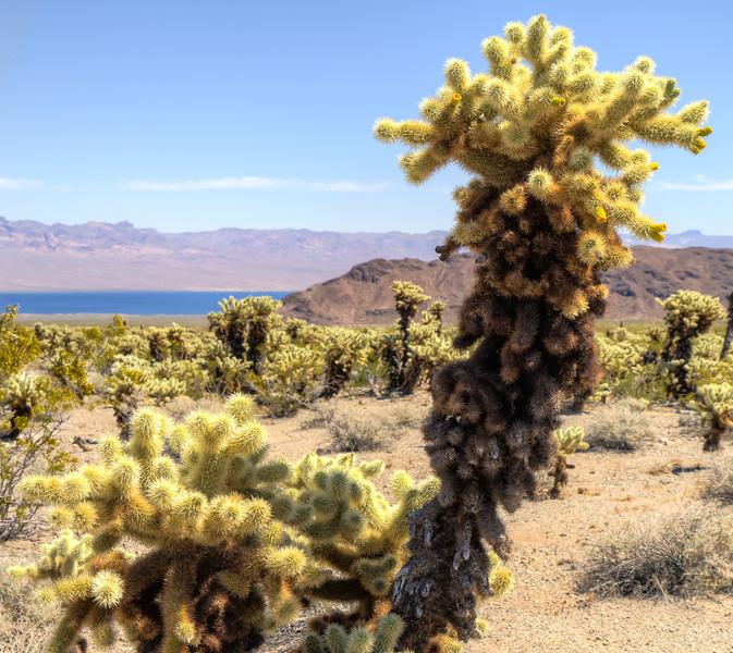 040 Cholla cactus, Lake Mojave on the Colorado River south of Cottonwood Cove.