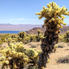 040 Cholla cactus, Lake Mojave on the Colorado River south of Cottonwood Cove.