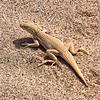 Mojave Desert Lizard Lane