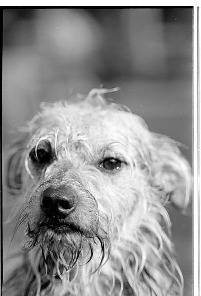 Our WET dog Scamper, 1974