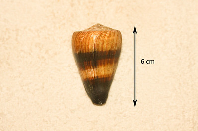 Soldier Cone (Rhizoconus miles; synonym = Conus miles), abaperatural view. Collected 2 December 2012, Ma'alaea Bay (intertidal zone), Maui County, Hawaii. Reported as uncommon in Hawaiian waters, but I found four intact specimens within a period of 24 months.