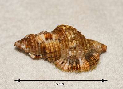 Intermediate Hairy Triton (Monoplex intermedius; synonym = Cymatium pileare), abaperatural view. Collected 2 August 2012, Ma'alaea Bay (intertidal zone), Maui County, Hawaii.