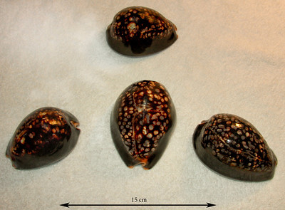 Four of my largest specimens of Humpback Cowrie (Mauritia mauritiana; synonyms = Cypraea mauritiana, Cypraea mauritiana calexquina). Dorsal views. Collected in 2012 & 2013, Ma'alaea Bay, Maui County, Hawaii.
