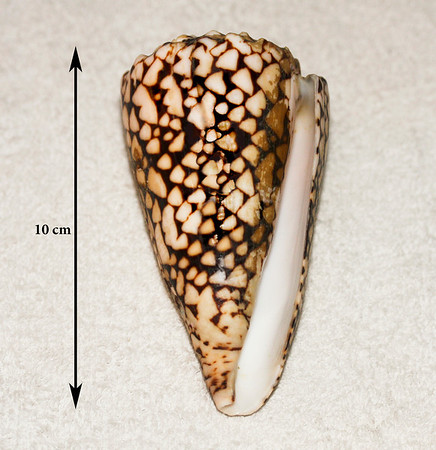 Marbled Cone (Conus marmoreus). Collected 10 April 2011, Ma'alaea Bay (intertidal zone), Maui County, Hawaii.