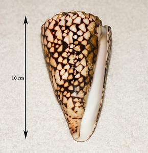 Marbled Cone (Conus marmoreus). Collected 10 April 2011, Ma'alaea Bay (intertidal zone), Maui County, Hawaii.