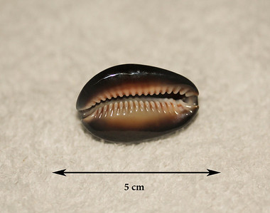 Snakehead Cowrie (Cypraea caputserpentis), ventral view. Collected 2013; Ma'alaea Bay (intertidal zone), Maui County, Hawaii. Locally very common on the reef platform.