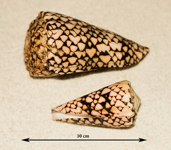 Marbled Cones (Conus marmoreus). Collected 10 April 2011 (larger specimen, abaperatural view) and 2 March 2013 (aperatural view), Ma'alaea Bay (intertidal zone), Maui County, Hawaii.
