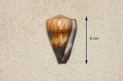 Soldier Cone (Rhizoconus miles; synonym = Conus miles), aperatural view. Collected 2 December 2012, Ma'alaea Bay (intertidal zone), Maui County, Hawaii. Reported as uncommon in Hawaiian waters, but I found four intact specimens within a period of 24 months.