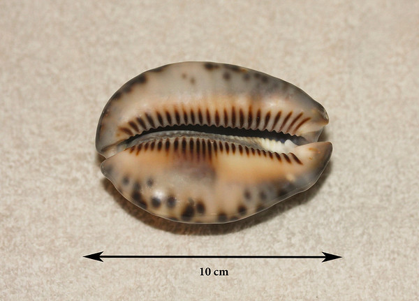 "Reticulated (or ""Reticulate"") Cowrie (Mauritia maculifera; synonyms = Cypraea maculifera, Cypraea reticulata). Ventral view. Collected 13 December 2012, Ma'alaea Bay (intertidal zone), Maui County, Hawaii. This is the largest of six specimens. Shares the same surf zone habitat as the Humpback Cowrie."