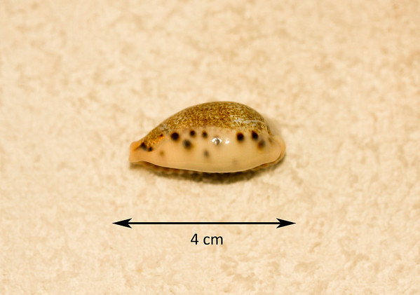 Thrush Cowrie (Erosaria turdus dilatata). Side view. Collected September 1986, As Shuabah (intertidal zone, depth ~ 2 ft), Red Sea, Hejaz Province, Saudi Arabia. Uncommon. This subspecies bears a large irregular patch on the dorsum (see abaperatural view).