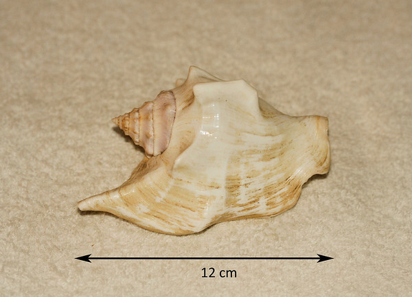 Three-Cornered Conch (Tricornis tricornis; synonym = Strombus tricornis). Abaperatural view. Collected March 1987 (reef flat, approx. depth 10 m), As Shuayba, Hejaz Province, Saudi Arabia.