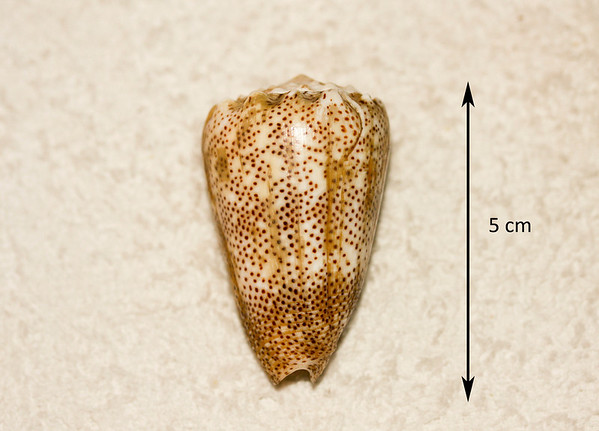 San-Dusted Cone (Conus arenatus). Abaperatural view. Collected September 1986, As Shuaybah (outer reef flat, depth ~ 20 ft), Red Sea, Hejaz Province, Saudi Arabia.