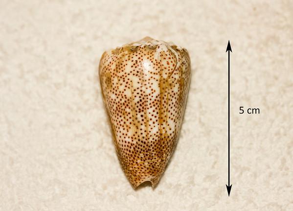 San-Dusted Cone (Conus arenatus). Abaperatural view. Collected September 1986, As Shuaybah (outer reef flat, depth ~ 20 ft), Red Sea, Hejaz Province, Saudi Arabia.