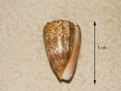Sand-Dusted Cone (Conus arenatus). Aperatural view. Collected September 1986, As Shuaybah (outer reef flat, depth ~ 20 ft), Red Sea, Hejaz Province, Saudi Arabia.